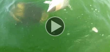 Goliath Grouper Attacks Shark & More Grouper Videos