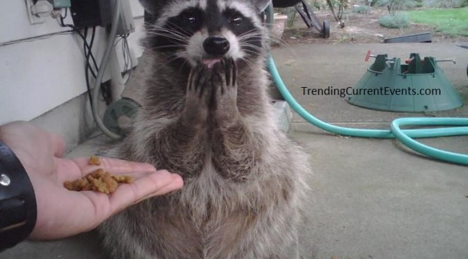 Funny Raccoon Omg for me?