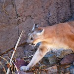 6 year old Boy Attacked by a Mountain Lion in Cupertino CA