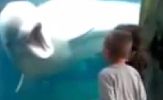 Beluga Whales Scare Kids - Whales Teasing Kids at Aquarium