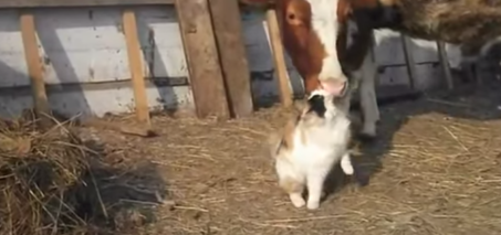 Cow Loves Cat Video – Cat Rubbing against a Cow