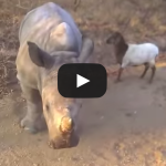 Baby rhino and a goat dancing around together VIDEO
