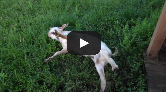 Fainting Goats Video