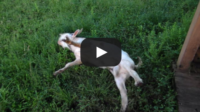 FAINTING GOAT? HE GONE! VIDEO