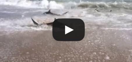 Rare Shark Feeding Frenzy in North Carolina VIDEO