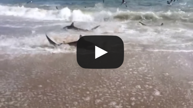 Rare Shark Feeding Frenzy in North Carolina VIDEO