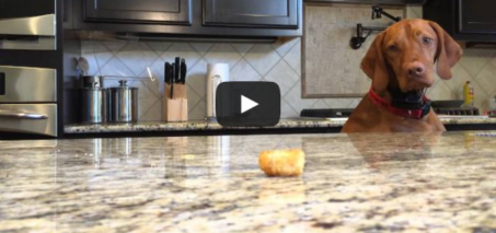 Argus vs Tater Tot – Dog tries to get tater tot on the counter