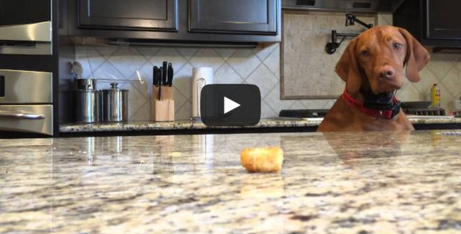 Argus vs Tater Tot - Dog tries to get tater tot on the counter