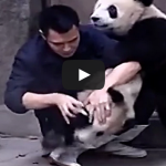 Clingy pandas don't want to take their medicine
