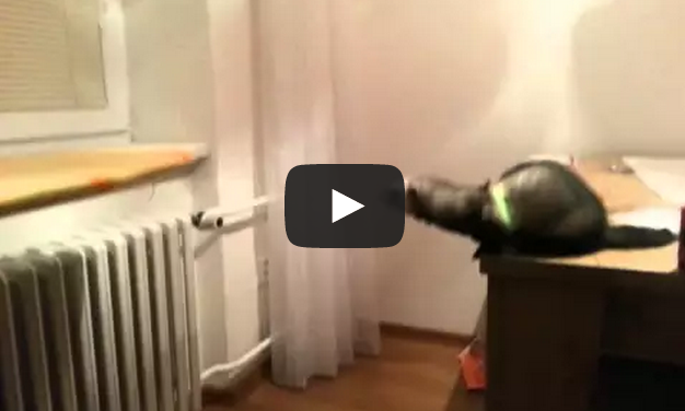 Ferret jump fail - It's definitely not a cat..