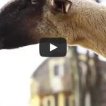 Goats Yelling Like Humans – Super Cut Compilations 1 & 2