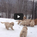 Golden Retriever Mother Playing With Her Pups