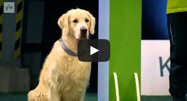 Hilarious Golden Retriever Really Wants To Race But.. First Things First.