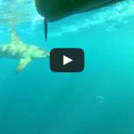 Huge Hammerhead Shark Stalks Kayakers for 2 Miles
