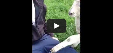 Jeb the Attention Seeking Lamb and a Jealous Dog