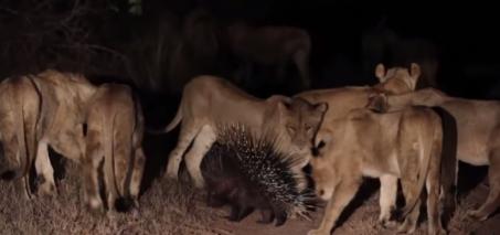 Lions vs Porcupine – Londolozi TV