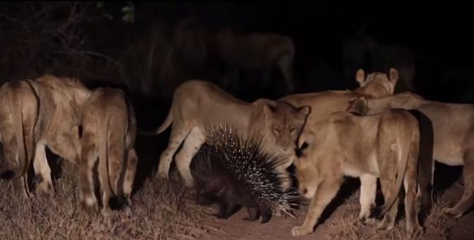Lions vs Porcupine - Londolozi TV