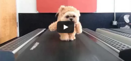 Munchkin the Teddy Bear gets her exercise