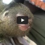 Nininta the Pygmy Marmoset Gets A Toothbrush Massage