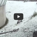 Toronto Zoo Giant Panda Tumbles In The Snow