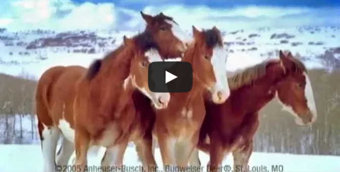 Budweiser Clydesdale Horses Snowball Fight