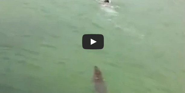 Crocodile Chases a Boy Swimming in the Water