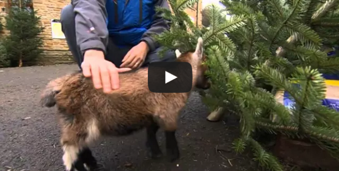 Cute baby Benjamin the orphan pygmy goat in Yorkshire
