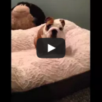 English Bulldog puppy loves his new bed