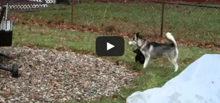 Husky puppy doesn't trust plastic bag