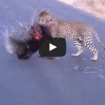 Leopard battles with Porcupine at Kruger National Park