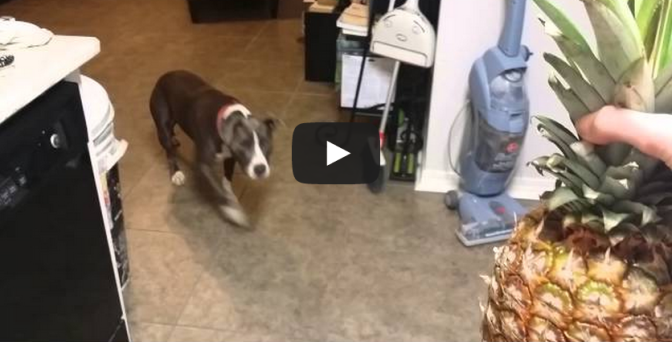 Pit bull is terrified of pineapple