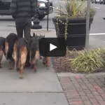 Walking my pack in public – 5 German Shepherds