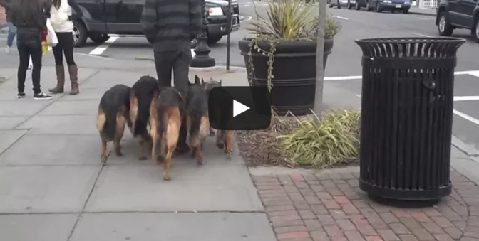 Walking my pack in public - 5 German Shepherds