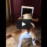 Bulldog can't fit bone through door