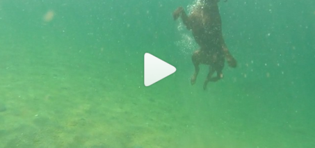 Chocolate Lab Dives 12 Feet Deep Under Water
