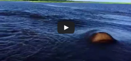 Hippo Charge on Chobe River Jan2015, recorded with iPhone 6