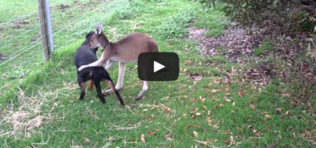 Kangaroo and Dog showing their love for each other