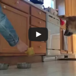 Kibo can't even – Shiba Inu freaks out when he gets fed