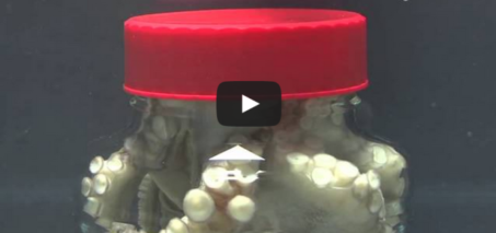 Octopus escapes jar by twisting the cap off!