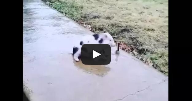 Pig slides on frozen sidewalk