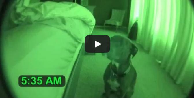 Pitbull Alarm Clock