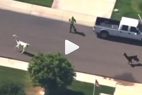 2 Llamas Running from the authorities near Phoenix, Arizona