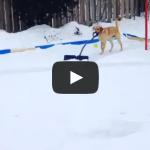 Golden Retriever Elsa shoveling the hockey rink. – Dog Shovels Snow