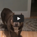 Amazing Funny Talking Dog Bully Pit Bull Compilation