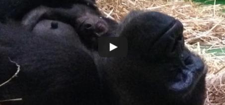 Baby Gorilla born at Melbourne Zoo!