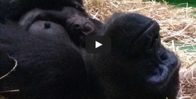 Baby Gorilla born at Melbourne Zoo!