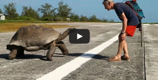 Mating Tortoises