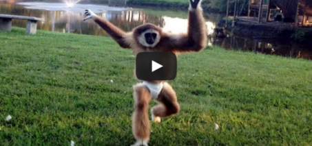 Aping Around: Hat Wearing Primate Bumps Around The House