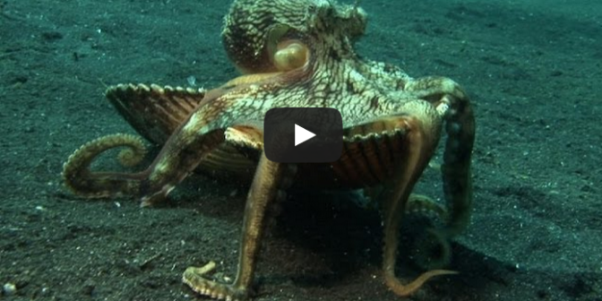 Shell Stealing Veined Octopus