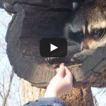 Man hands food to a raccoon – милый енот